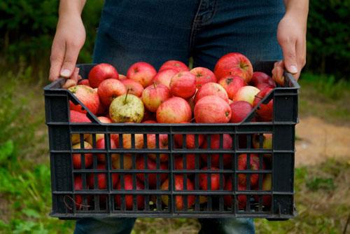 Хранение яблок — что нужно знать