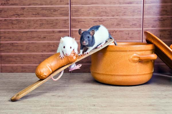 Как ухаживать за домашней крысой