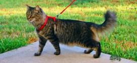 Нужно ли гулять с кошкой