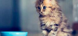 Выбираем корм для кошки