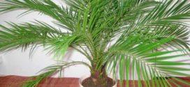 Растение для больших помещений – финиковая пальма
