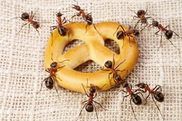 Как вывести муравьев из квартиры