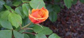 Все о посадке роз