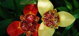 Тигридия – экзотическая красота на вашей клумбе