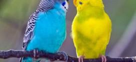 Волнистые попугайчики — как правильно выбрать и ухаживать