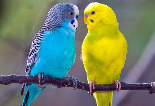 Волнистые попугайчики - как правильно выбрать и ухаживать