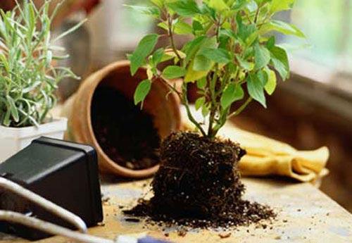 Пересадка комнатных цветов и растений
