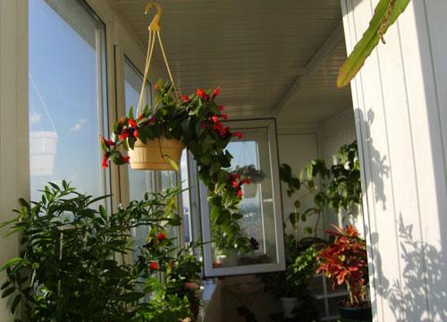 Зимний сад на нашем балконе