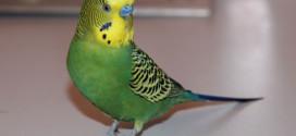 Как научить разговаривать волнистого попугайчика