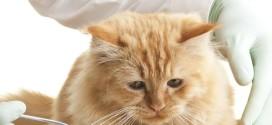 Как дать кошке таблетку или микстуру