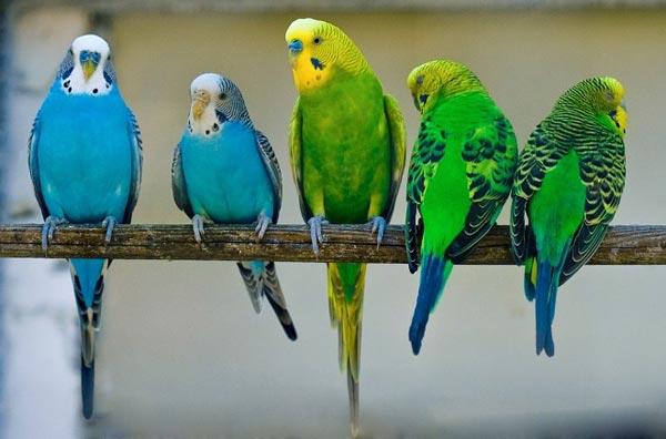 Как обучить говорить попугая?