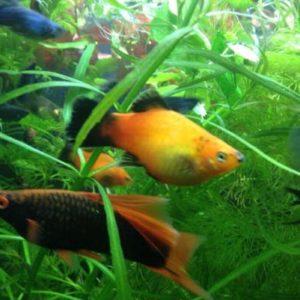 Топ-3 лучших аквариумных рыбок для новичка