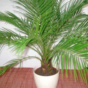 Растение для больших помещений - финиковая пальма