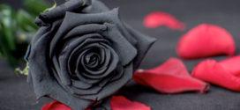 Чёрная роза — растение с особым смыслом
