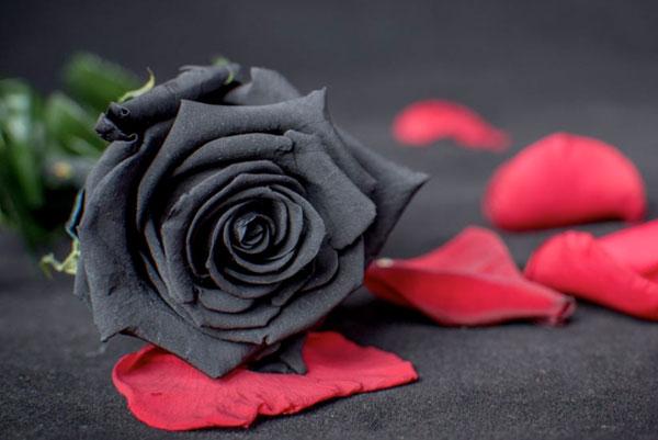 Чёрная роза - растение с особым смыслом